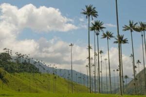 Colombia - Palma de cera