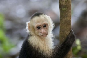 Costa Rica - Monkey1