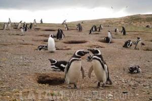 Pinguinos en la Isla Magdalena - Punta Arenas, Chile