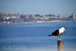 Gaviota / Seagull - Valparaíso, Chile