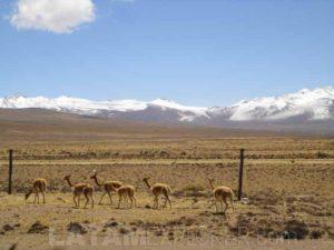 Alpacas cerca de Arequipa, Peru