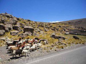 Llamas cerca de Arequipa, Peru