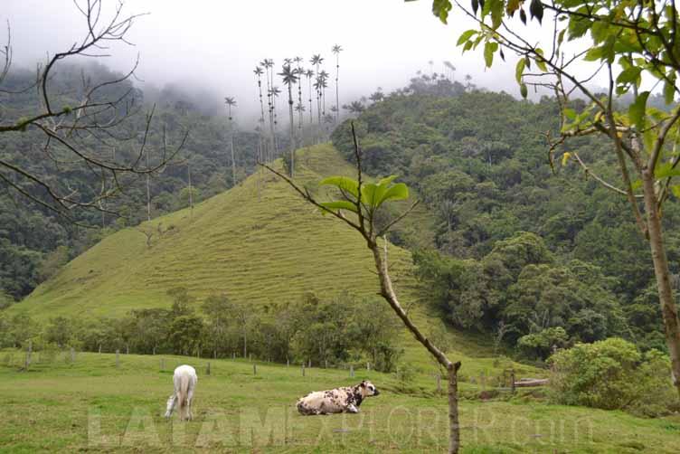 Palma de Cera - Colombia